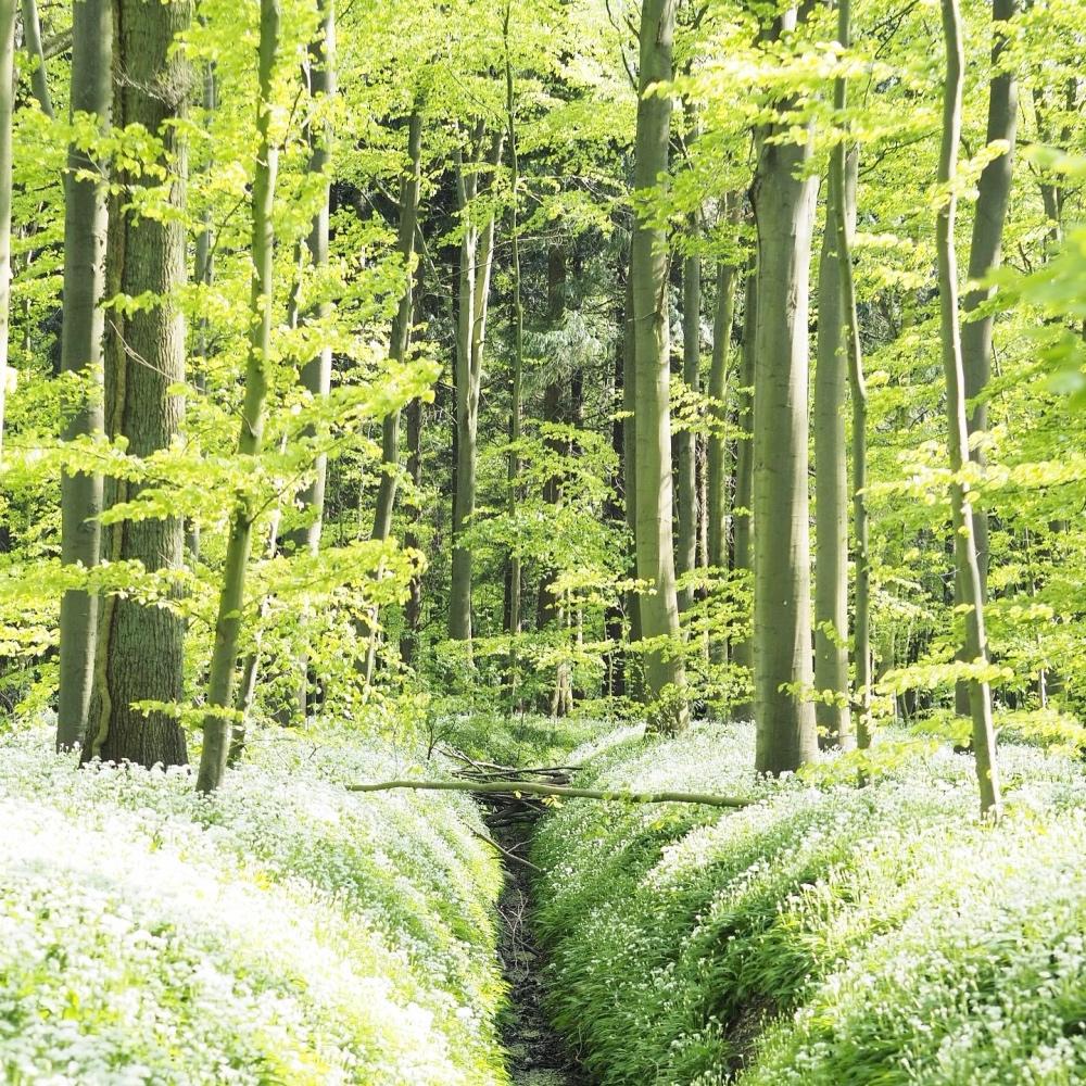 Riis skov blooming in May Aarhus Denmark