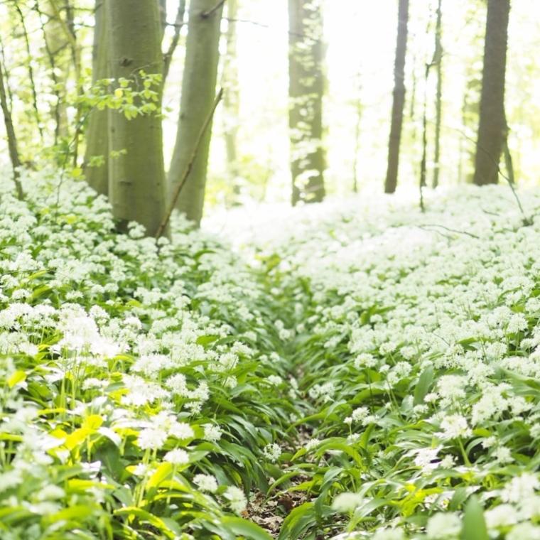 Risskov Forest blooming Aarhus Denmark